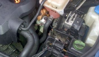 Dog travels 12 miles stuck in car engine bay