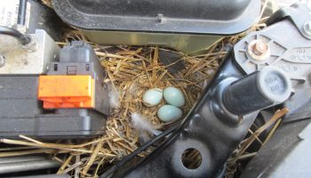 Nesting birds cause spate of Orkney car fires