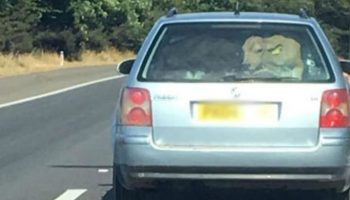 """Police investigate reports of """"cow in car boot"""" on M4"""
