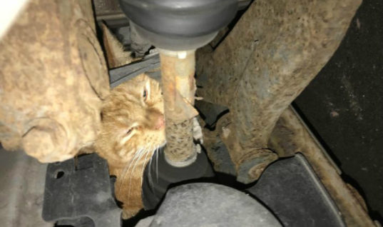 Cat found after taking refuge in two car engine compartments