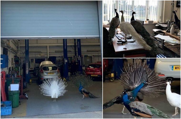 Peacocks invade garage workshop during partial lockdown closure