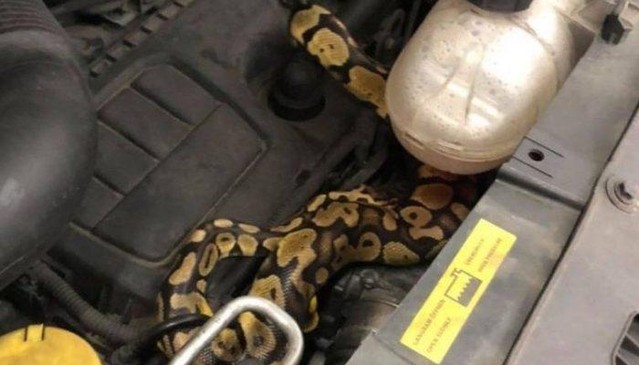 Tester finds python under bonnet during MOT